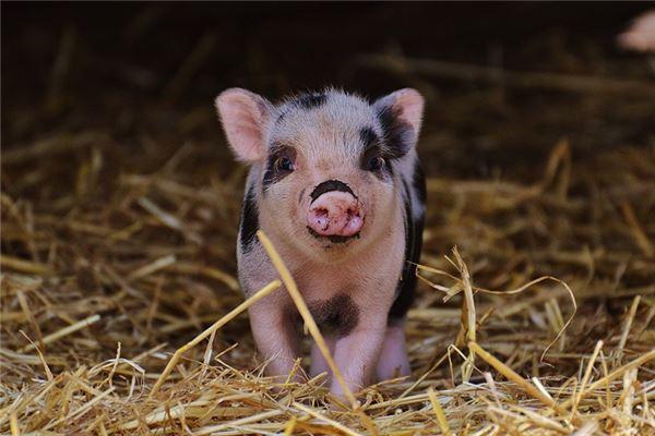 属猪跟什么属相犯冲