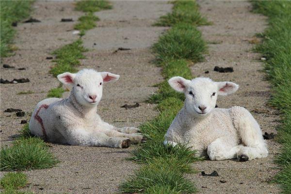属羊的年龄表