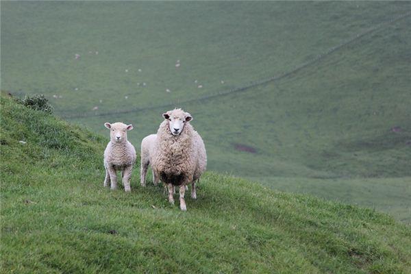 羊五行属什么?