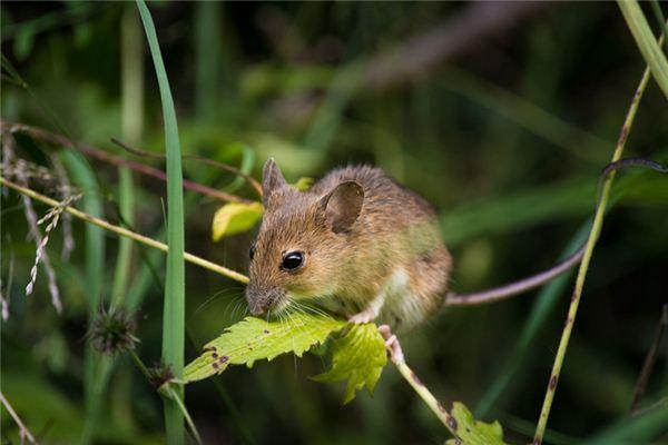 梦见老鼠有什么说法