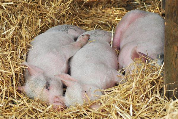 梦见杀猪是吉兆还是凶兆