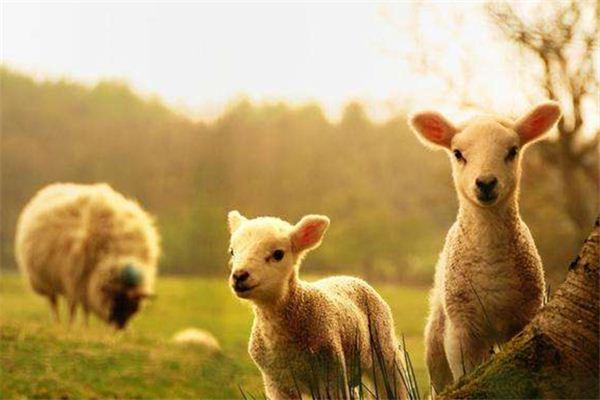 十月十一出生的羊宝宝