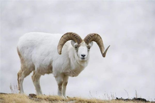 属羊人2021年运势