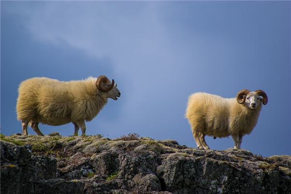 生肖羊的来历故事