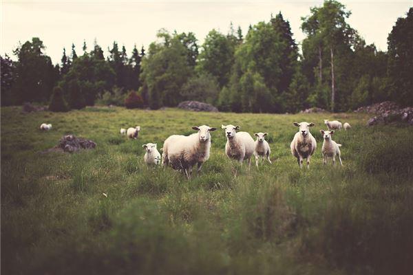 属羊的婚配秘笈