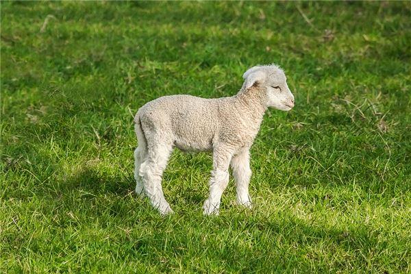 属羊的今年多大?